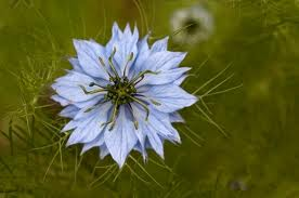 Nigella sativa: Can this be Cancer's Worst Nightmare