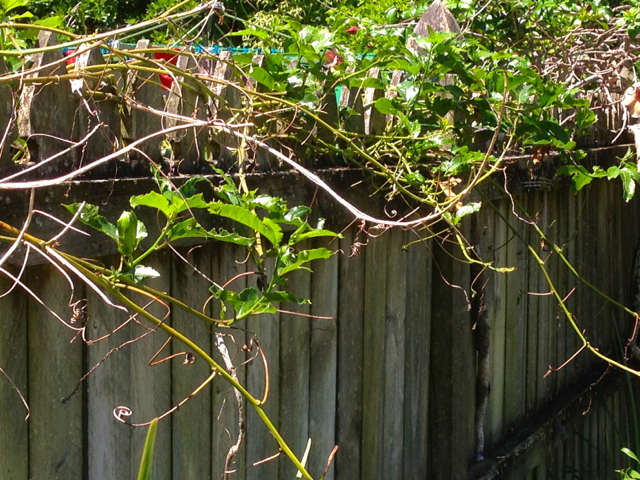 Passionfruit on fence